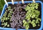 выращивание базилика