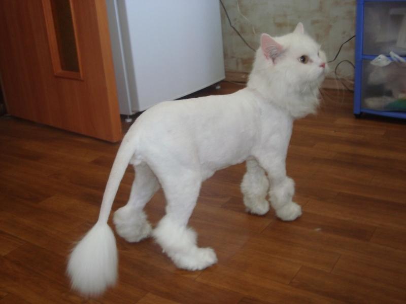 стрижка персидских кошек